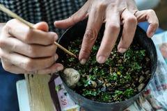 Alguien pequeños bonsais crecientes Imagenes de archivo
