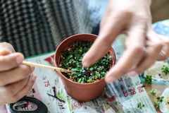 Alguien pequeños bonsais crecientes Imagen de archivo