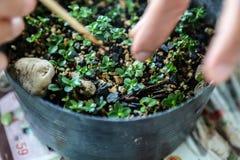 Alguien pequeños bonsais crecientes Fotos de archivo