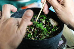 Alguien pequeños bonsais crecientes Imagen de archivo libre de regalías