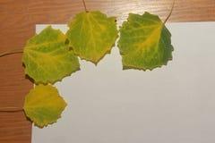 Algum o verde com o álamo tremedor amarelo do outono sae em um backgroun branco fotografia de stock