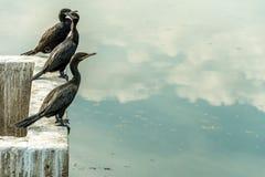 Algum pássaro preto levantou-se na parte dianteira um volume de água que reflete o céu fotos de stock