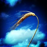 Algum trigo de encontro a um céu azul Fotos de Stock