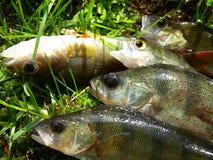 Algum vara pequena após a pesca Foto de Stock Royalty Free