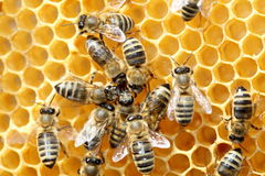 Algumas abelhas estão dançando Fotografia de Stock