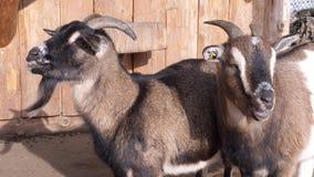 Algumas cabras marrons na frente de um celeiro vídeos de arquivo