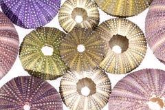 Algumas conchas do mar coloridas do diabrete de mar no fundo branco Fotografia de Stock