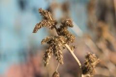 Algumas ervas daninhas Imagem de Stock