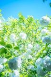 Algumas flores brancas sob o céu azul fotografia de stock