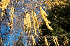 algumas flores da avelã para ilustrações da alergia fotos de stock royalty free