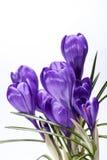 Algumas flores da mola do açafrão isoladas no fundo branco Imagens de Stock