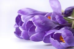 Algumas flores da mola do açafrão isoladas no fundo branco, clos Imagem de Stock Royalty Free
