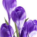 Algumas flores da mola do açafrão violeta isoladas no fundo branco Foto de Stock Royalty Free