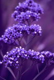 Algumas flores do roxo Fotos de Stock