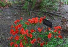 Algumas flores do vermelho em um jardim botânico Imagens de Stock Royalty Free