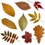 Algumas folhas de outono Imagem de Stock
