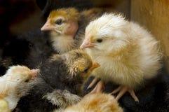 Algumas galinhas na caixa Imagem de Stock Royalty Free