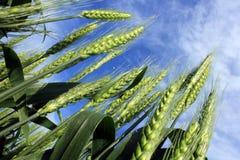 Algumas orelhas verdes do trigo fotografia de stock