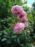 Algumas rosas obrazy royalty free