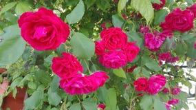 Algumas rosas roxas com suas folhas verdes Imagem de Stock