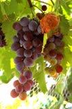 Algumas uvas yummy imagens de stock