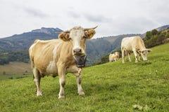 Algumas vacas Imagens de Stock