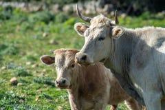 Algumas vacas ao pastar foto de stock royalty free