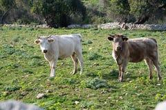 Algumas vacas ao pastar fotografia de stock royalty free