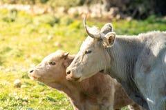 Algumas vacas ao pastar imagem de stock royalty free