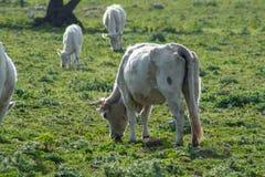 Algumas vacas ao pastar foto de stock