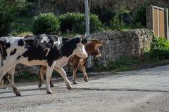 Algumas vacas ao pastar imagem de stock
