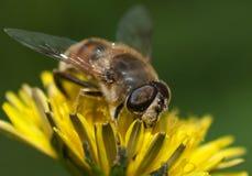 Alguna abeja Imagen de archivo