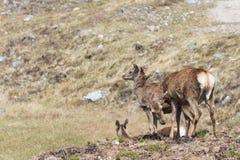 Alguna hembra de ciervos en Escocia fotografía de archivo
