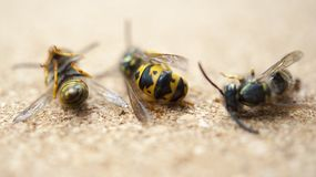 Algunas abejas muertas en un fondo ligero El concepto de un trabajador cansado, el trabajo duro de los trabajadores Fotografía de archivo