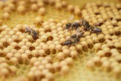 Algunas abejas se arrastran en los panales llenados de la miel Foto de archivo