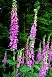 Algunas dedaleras comunes que florecen en el bosque imagenes de archivo