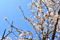 algunas flores blancas de la almendra en el extremo de ramas de un árbol de almendra en un día de primavera con un un montón flor fotos de archivo libres de regalías