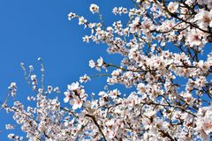 algunas flores blancas de la almendra en el extremo de ramas de un árbol de almendra en un día de primavera con un un montón flor fotografía de archivo libre de regalías