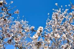 algunas flores blancas de la almendra en el extremo de ramas de un árbol de almendra en un día de primavera con un un montón flor imágenes de archivo libres de regalías