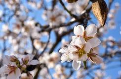 algunas flores blancas de la almendra en el extremo de una rama de un árbol de almendra en un día de primavera con un un montón f fotografía de archivo libre de regalías