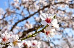 algunas flores blancas de la almendra en el extremo de una rama de un árbol de almendra en un día de primavera con un un montón f imagenes de archivo