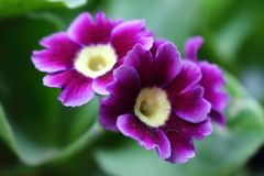 Algunas flores de la púrpura en el jardín Imágenes de archivo libres de regalías