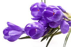Algunas flores de la primavera del azafrán violeta aisladas en el fondo blanco Imagenes de archivo