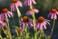 Algunas flores del purpurea del Echinacea o del coneflower del erizo Foto de archivo libre de regalías