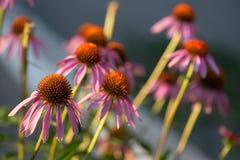 Algunas flores del purpurea del Echinacea o del coneflower del erizo Fotos de archivo