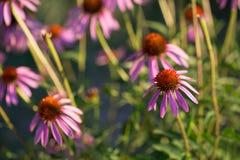 Algunas flores del purpurea del Echinacea o del coneflower del erizo Foto de archivo