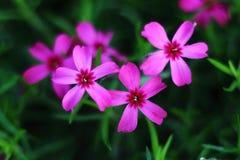 Algunas flores del rosa en el jardín Imágenes de archivo libres de regalías