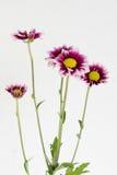 Algunas flores florecientes del gazania Foto de archivo