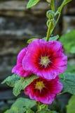 Algunas flores rosadas de la malva foto de archivo