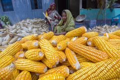 Algunas mujeres locales que recogen el maíz, Manikgonj, Bangladesh Foto de archivo libre de regalías